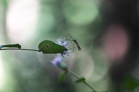 2015.10.28 瀬谷市民の森 コウヤボウキにガガンボ