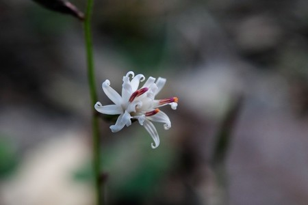 2015.12.06 瀬谷市民の森 キッコウハグマ 冬