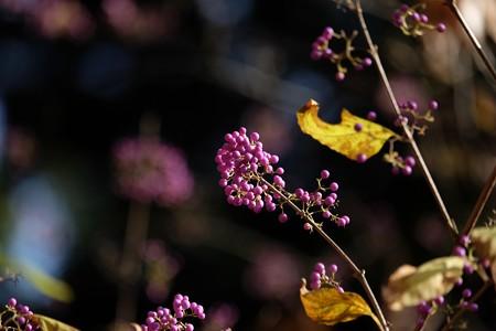 2015.12.06 瀬谷市民の森 ムラサキシキブ