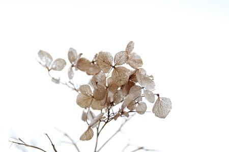 2015.12.14 和泉川 アジサイ 冬