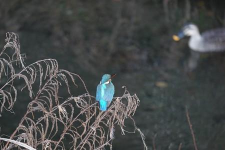 2015.12.20 和泉川 カワセミの向こうにカルガモ