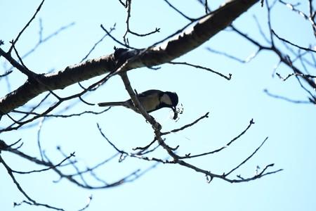 2015.12.20 和泉川 シジュウカラ捕食ジョロウグモ