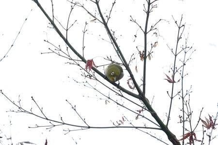 2015.12.27 鶴ヶ峰 帷子川親水緑道 紅葉にメジロ