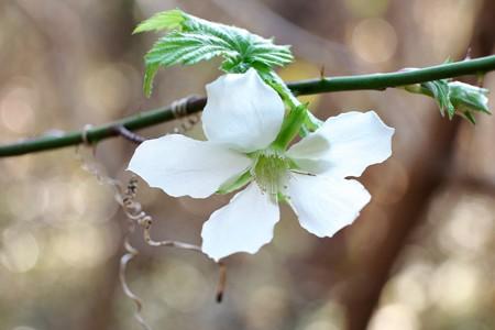 2016.01.08 追分市民の森 モミジイチゴ