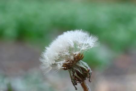 2016.01.13 追分市民の森 綿毛に氷