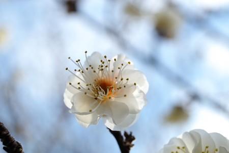 2016.01.17 和泉川 ウメ