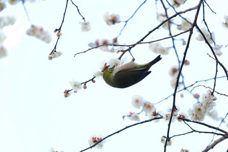 2016.02.05 和泉川 メジロ