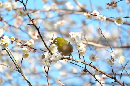 2016.02.05 和泉川 やっと梅でメジロ
