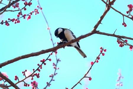 2016.02.05 和泉川 紅梅にシジュウカラ