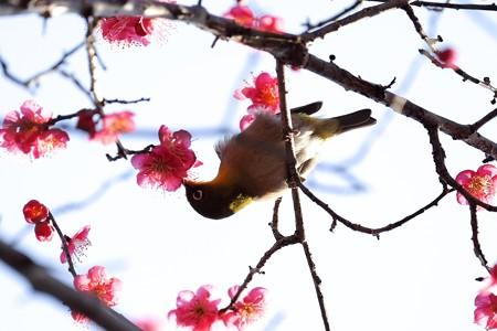2016.02.09 和泉川 紅梅へメジロ