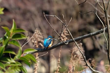2016.02.11 大池公園 カワセミ