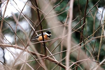 2016.02.15 追分市民の森 藪にヤマガラ