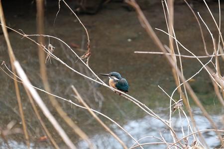 2016.02.23 和泉川 カワセミ 幼鳥?