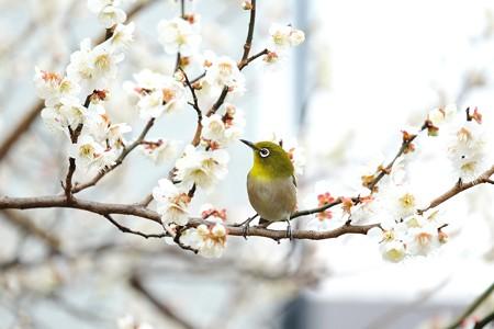 2016.02.23 和泉川 梅にメジロ