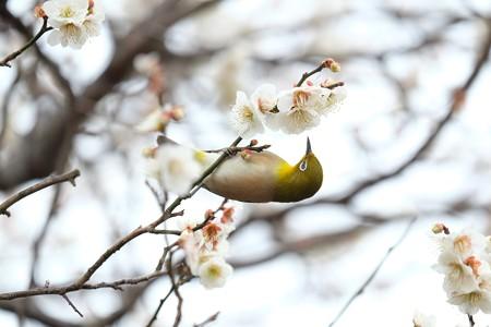 2016.02.23 和泉川 梅へメジロ 花蜜