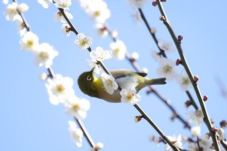 2016.03.02 和泉川 梅へメジロ 吸蜜