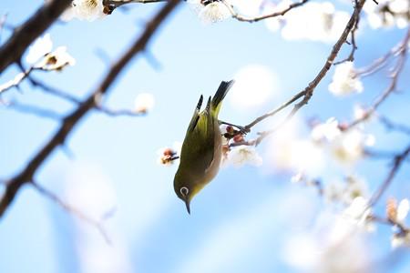 2016.03.03 和泉川 メジロ 春