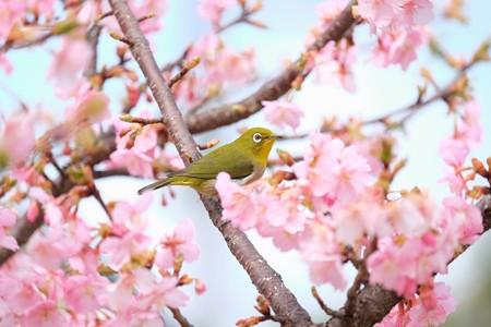 2016.03.05 和泉川 河津桜でメジロ 蜜まみれ