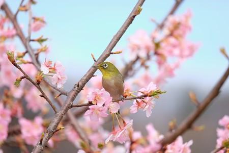 2016.03.05 和泉川 河津桜とメジロ