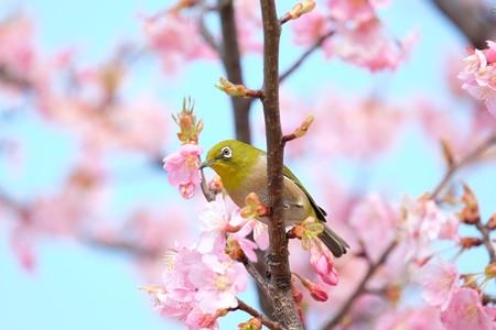 2016.03.05 和泉川 河津桜へメジロ