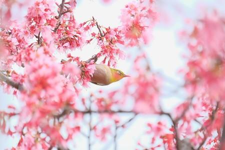 2016.03.16 和泉川 おかめ桜へメジロ