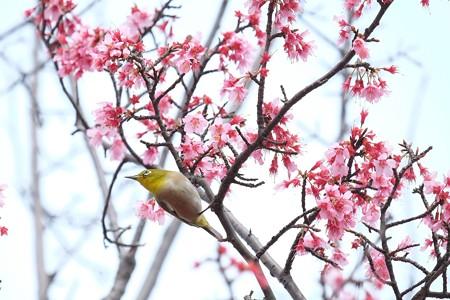 2016.03.16 和泉川 メジロ