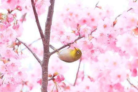 2016.03.26 和泉川 メジロ
