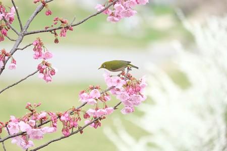 2016.03.26 和泉川 桜にメジロ 背景雪柳
