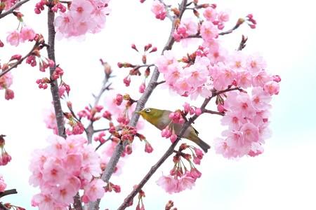 2016.03.26 和泉川 桜へメジロ