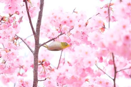 2016.03.26 和泉川 桜へメジロ 至福