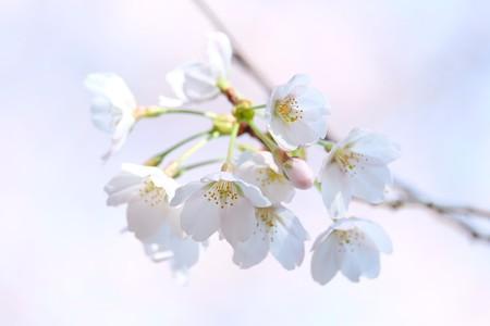 2016.03.27 瀬谷市民の森 サクラ
