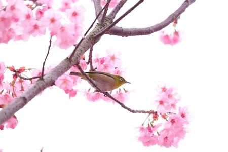 2016.03.28 和泉川 桜にメジロ