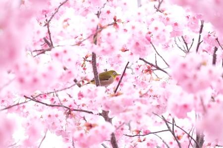 2016.03.28 和泉川 桜へメジロ