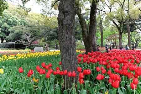 2016.04.11 横浜公園 チューリップ