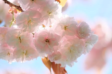2016.04.18 和泉川 ヤエザクラ