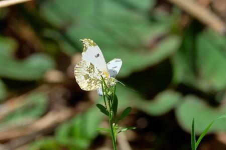 2016.04.19 追分市民の森 シロイヌナズナに産卵のツマキチョウ