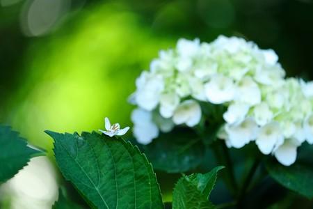 2016.05.12 和泉川 紫陽花の葉にエゴノキ