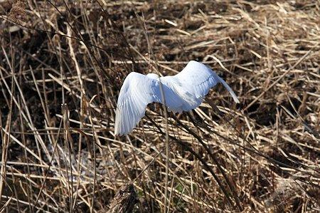 2011.01.18 和泉川 コサギ 飛翔