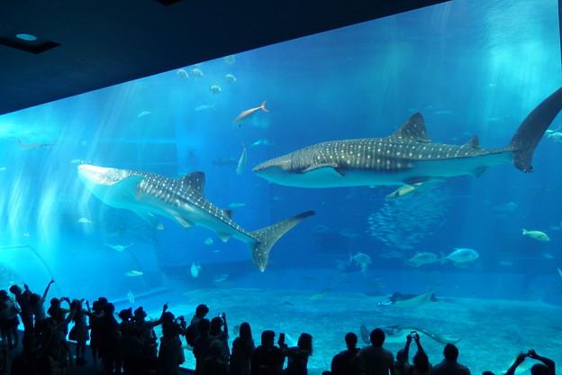 写真: 【沖縄】ジンベイザメ「美ら海水族館」