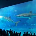 【沖縄】ジンベエザメ「美ら海水族館」