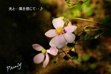 ピンクの秋明菊・・