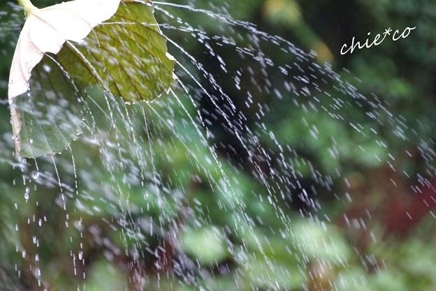 蓮の葉のシャワー・・