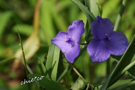紫露草(むらさきつゆくさ)・・