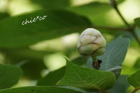 玉紫陽花のつぼみ・・
