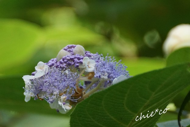 玉紫陽花(たまあじさい)・・