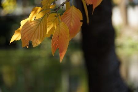 長月の桜葉・・