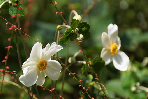 秋明菊と・・水引草・・