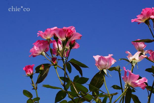 花菜ガーデン-238