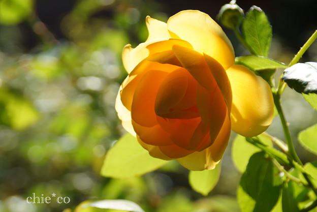 花菜ガーデン-241