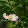 Photos: 山茶花(さざんか)・・